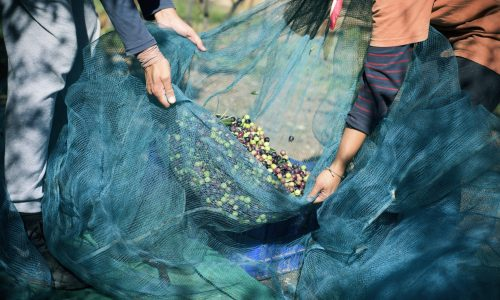 closeup of a young caucasian man and a young caucasian woman carrying a net full of arbequina olives during the harvesting in an olive grove in Catalonia, Spain