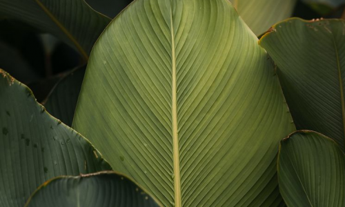 mvp pianta